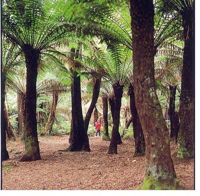 Mr Fern Australian Tree Fern Growers And Suppliers